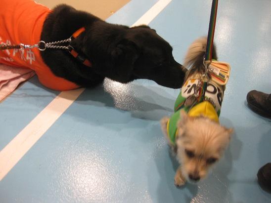 2盲導犬が挨拶 1207