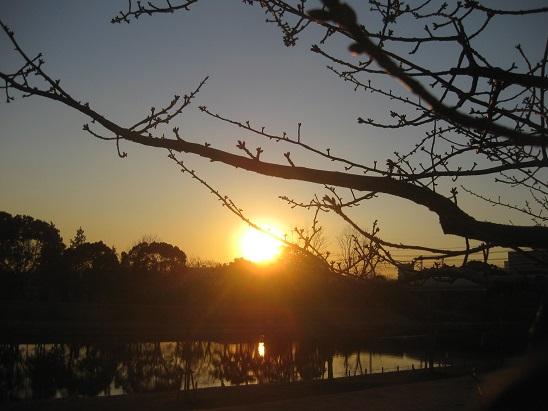 8河津桜つぼみと夕日 0123