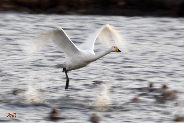 20140119白鳥07