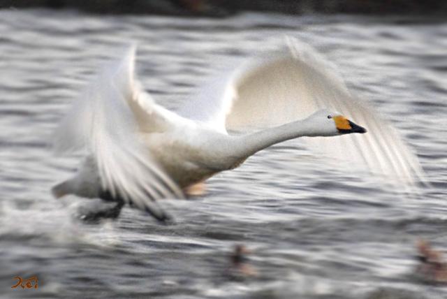 20140119白鳥06
