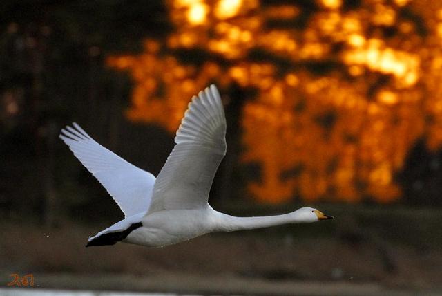 20140119白鳥02