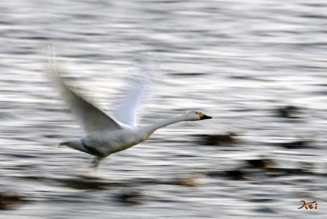 20140119白鳥03