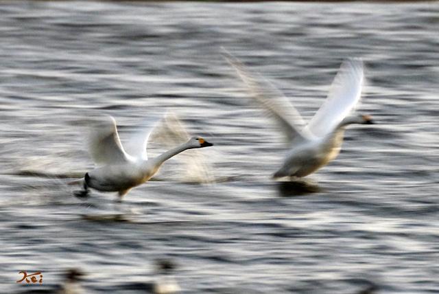20140119白鳥05