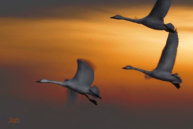 20140125白鳥01