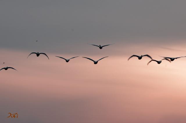 20140125白鳥03