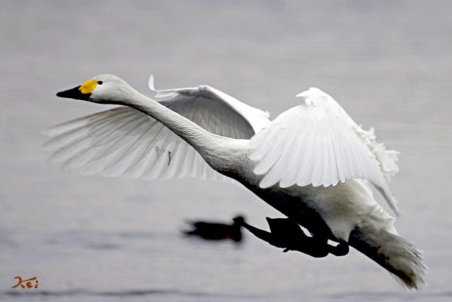 20140125白鳥05