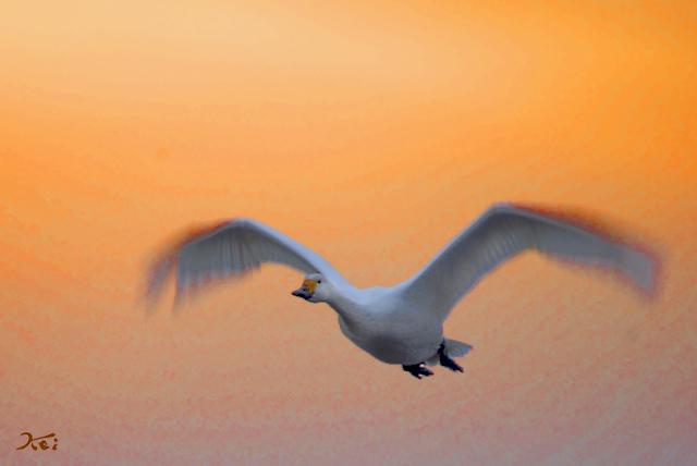 20140125白鳥04