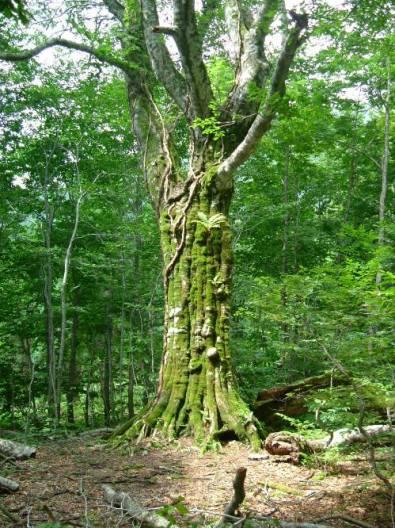 ひっちゃんのまなぐブナの木②