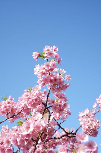 20200217桜まつり7
