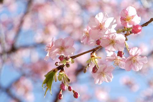 20200224桜1
