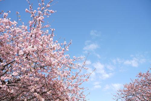 20200224桜2
