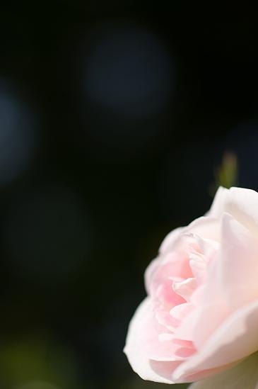 のんほいバラ-4
