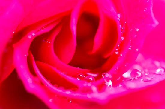 雨のバラ-3