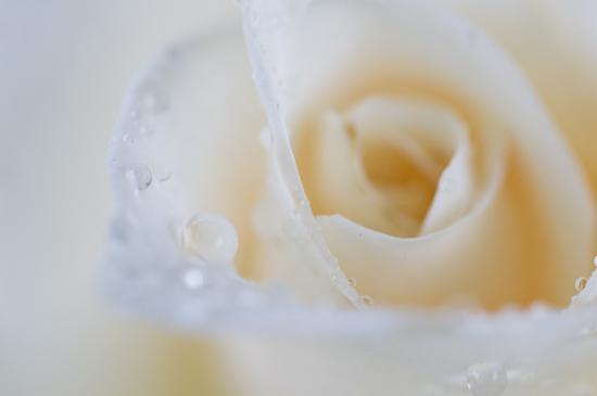 雨のバラ-4