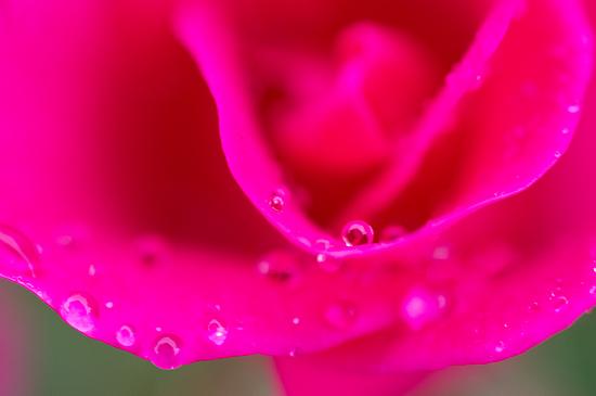 雨のバラ-6