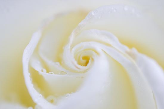 雨のバラ-8