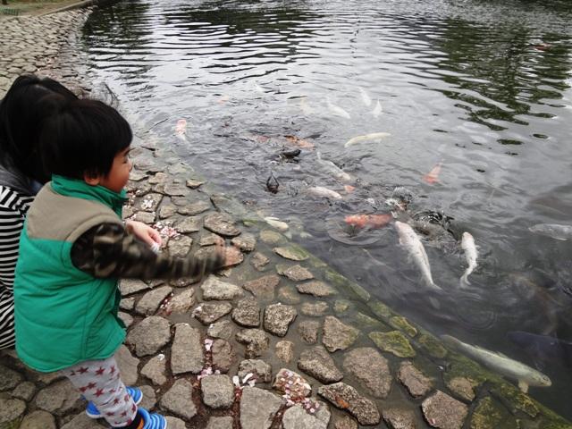 鯉の餌やり