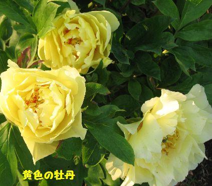 IMG_0297黄ぼたん