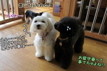 白黒姉妹+ちくわは、お留守番に(^_^;)ゴメンね・・・