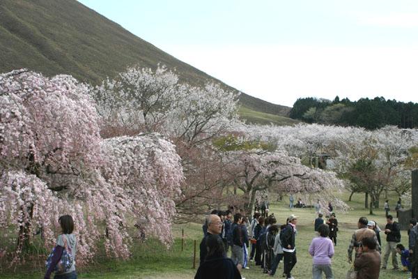 大室山と桜の笑顔