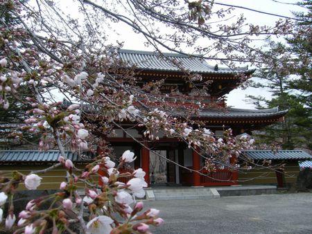 2012_0321聖光寺桜0014