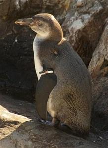 フンボルトペンギン trd12051514430008-p1
