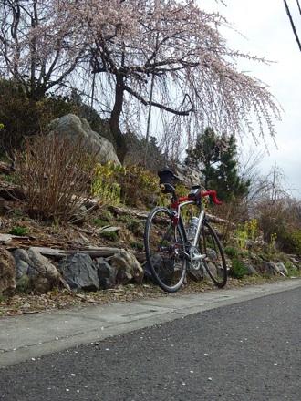 20130320_sakura1.jpg