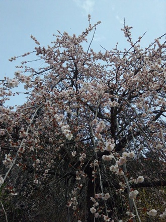 20130320_sakura2.jpg