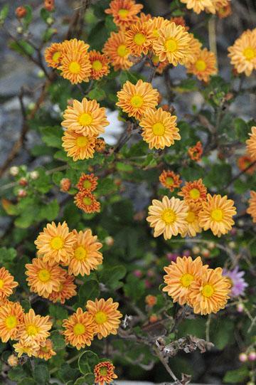 blog Miyagi, Kesennuma, Iwaisaki, flower_DSC0141-10.21.11 (2)