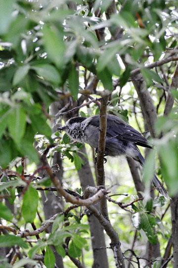 blog 139 After Burwash Landing, Gray Jay?', Yukon, Canada_DSC0214-6.24.12 (1)