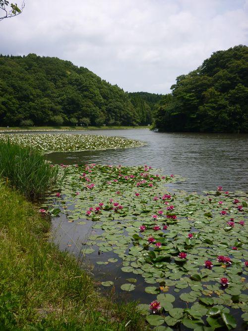 昭和の森 睡蓮